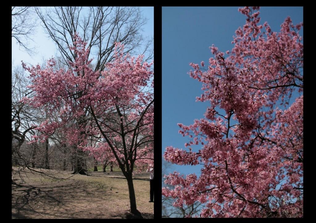 les cerisiers de Central Park